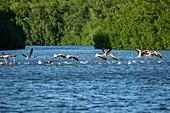 Flamingos (Phoenicopterus ruber) starten ihren Flug auf dem Wasser, Caroni Vogelschutzgebiet, Trinidad, Trinidad und Tobago, Karibik
