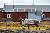 A mountain animal (Rangifer tarandus tarandus) looks up from its rummage near the buildings of the research community, Ny-Ålesund, Spitsbergen, Norway, Europe
