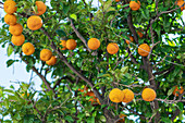 Orange tree on Skiathos island, Greece