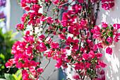 Flowers in Skiathos, Greece