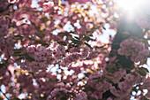 Spring awakening in the Mirabell Gardens in Salzburg, Austria