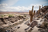 Cacti in the Canon de Guatin, Atacama Desert, Antofagasta Region, Chile, South America