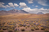 "lilac blooming flower meadow in plateau ""Altiplano"", Atacama desert, region Antofagasta, Chile, South America"