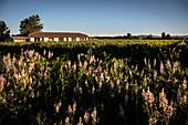 Wein Anbau in Santa Cruz, Colchagua Tal (Weinanbau Gebiet), Chile, Südamerika