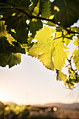 Grape leaf in the back light, in Santa Cruz, Colchagua Valley (wine growing area), Chile, South America