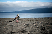 Bird standing on black sand on the beach (Playa Grande) at Villarrica Lake, Pucon, Región de la Araucanía, Chile, South America
