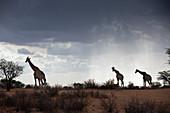 Angola giraffes in the Kalahari, Giraffa giraffa angolensis, Kalahari Basin, Namibia