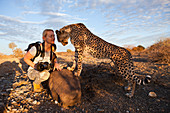 Tourist and tame young cheetah, Acinonyx jubatus, Kalahari Basin, Namibia
