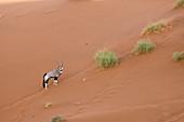 Gemsbok in Sossusvlei, Oryx gazella, Namib Naukluft Park, Namibia