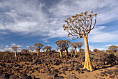 Impressions from the quiver tree forest, Aloidendron dichotomum, Keetmanshoop, Namibia