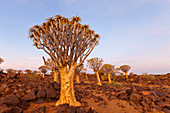 Quiver tree forest at sunset, Aloidendron dichotomum, Keetmanshoop, Namibia