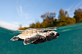 Newly hatched hawksbill turtle paddles into the sea, Eretmochelys imbricata, New Ireland, Papua New Guinea
