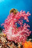 Red soft coral, Dendronephthya, New Ireland, Papua New Guinea