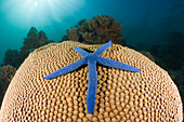 Blue starfish on coral, Linckia laevigata, New Ireland, Papua New Guinea