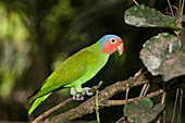 Red-headed parrot, Geoffroyus geoffroyi, Papua New Guinea