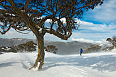Snow eucalyptus in Kosciuszko National Park, multi-day ski tour, NSW, Australia