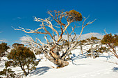 Snow eucalyptus along a ski tour to Spargo's Hut in the Alpine National Park, Victoria, Australia