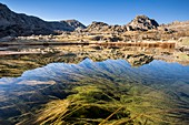 France, Alpes Maritimes, national park of Mercantour, Roya and Bevera, water plants emerge on the surface of the Long Inférieur Lake (2095m)