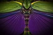 France, Guyana, French Guyana Amazonian Park, heart area, Mount Itoupe, rainy season, retail elitres a locust (Titanachris albipes)