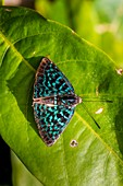 Frankreich, Guayana, Amazonaspark Französisch-Guyana, Kerngebiet, Mount Itoupe, Regenzeit, Schmetterling (Menander pretus pretus), Männchen von oben gesehen