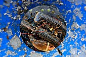 France, Finistere, Morlaix Bay, Carantec, blue lobster