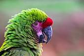 France, Maine et Loire, Zoo Bioparc of Doue La Fontaine, great green macaw (Ara ambiguus)