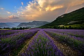 France, Drome, Rémuzat, Rainbow over lavender field