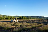 France, Vaucluse, regional park of Luberon, Plateau Claparedes, horses (Lusitano), stroll through the lavender fields