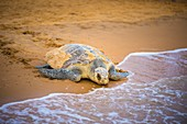 France, Guiana, Cayenne, Remire-Montjoly beach, return to the Atlantic Ocean of a female olive Ridley turtle (Lepidochelys olivacea) after nesting