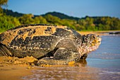 France, Guiana, Cayenne, Gosselin beach, return to the Atlantic Ocean of a female leatherback turtle (Dermochelys coriacea) after nesting in the morning