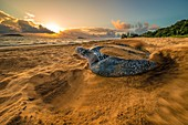 France, Guiana, Cayenne, Gosselin beach, female leatherback turtle (Dermochelys coriacea) nesting in the morning