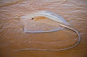France, Guiana, Cayenne, Rémire-Montjoly beach, Stingray long nose ray (Dasyatis guttata) beached temporarily
