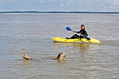 France, Somme, Baie de Somme, woman kayak observing a seal