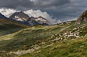 Herd of goats in Val Formazza, Trekking del Laghetti Alpini, Ticino, Italy