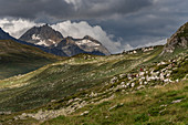 Ziegenherde im Val Formazza, Trekking del Laghetti Alpini, Tessin, Italien