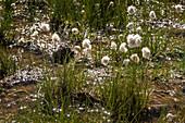 Cotton grass at Passo San Giacomo, Trekking del Laghetti Alpini, Ticino, Italy