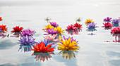 Colorful lotus flowers in water