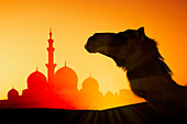 Camel in front of Sheikh Zayed Mosque at sunset in Abu Dhabi, United Arab Emirates