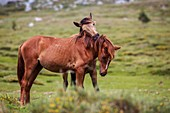 France, Corse du Sud, region of the Alta Rocca, the plateau of Cuscionu, free horses