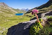 Frankreich, Alpes-de-Haute-Provence, Nationalpark Mercantour, Haute-Hubaye, Berg-Hauswurz (Sempervivum montanum), im Hintergrund der See von Lauzanier (2284 m)