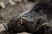 France, Moselle, Rhodes, Sainte Croix wildlife park, wild boar (Sus scrofa) adult lying in mud, head, canines developed typical of male