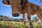 France, Lozere, Les Causses et les Cevennes, cultural landscape of the Mediterranean agro pastoralism, listed as World heritage by UNESCO, National park of the Cevennes, listed as Reserves Biosphere by the UNESCO, Runes, municipality of Fraissinet de Lozere, purebred cow Aubrac