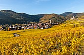 France, Haut-Rhin, Alsace Wine Route, Kaysersberg, the vineyard and the Sainte-Croix church
