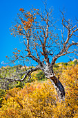 old pine tree in the Esterel coastal mountains, at Agay, district of Saint Raphael, Provence-Alpes-Cote d'Azur, French Riviera, France