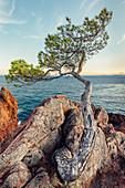 old pine tree at Cap Le Dramont, Var, Provence-Alpes-Côte d'Azur, Côte d'Azur, Frankreichll