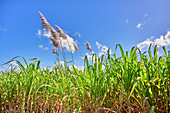 Corn field at La Romana, Dominican Republic, Caribbean, Central America