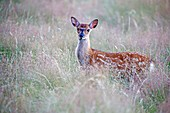 France, Haute Saone, Private park, Sika Deer (Cervus nippon), young