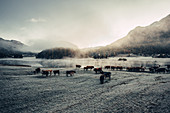 Herd of cattle in the foggy sunrise at Lake Silvaplana in the Upper Engadine, St. Moritz in the Engadine, Switzerland