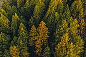 Autumn forest in the Upper Engadine, Sankt Moritz im Engadin, Switzerland