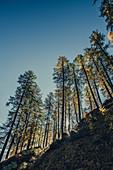 Herbstlicher Wald im Oberengadin, Sankt Moritz im Engadin, Schweiz